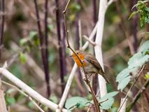 Beautiful english robin close up detail sharp on branch autumn w Royalty Free Stock Images