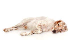 Beautiful English setter with brown spots. On white background Royalty Free Stock Photography
