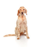 Beautiful English setter with brown spots Stock Photo