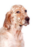 Beautiful English setter with brown spots Stock Images