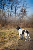 Beautiful English Setter in the woods Stock Images