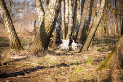 Beautiful English Setter in the woods Royalty Free Stock Photography