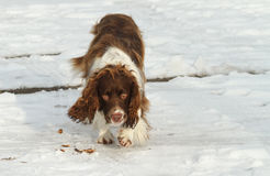 A beautiful English Springer Spaniel dog walking in the snow. royalty free stock photography