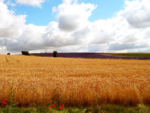 Beautiful English wheat field in July Royalty Free Stock Photos