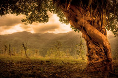 Beautiful entangled tree Royalty Free Stock Image