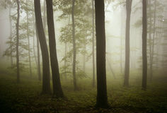 Beautiful ethereal forest with fog Stock Photography