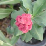 Beautiful Euphorbia milli Desmoul Stock Photos