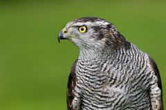 Portrait of eurasian goshawk with green background Royalty Free Stock Photography