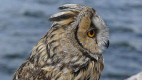 Beautiful eurasian owl closeup stock footage