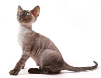 Beautiful European cat Devon Rex Royalty Free Stock Images