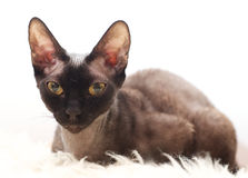 Beautiful European cat Devon Rex Royalty Free Stock Images