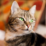 Beautiful European cat in front with green eye. A beautiful European cat in front with green eye royalty free stock photos