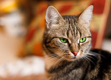 Beautiful European cat in front with green eye. A beautiful European cat in front with green eye royalty free stock image