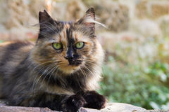 Beautiful european cat royalty free stock images