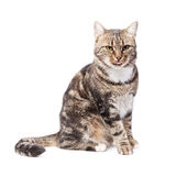 Beautiful European cat on a white Royalty Free Stock Image