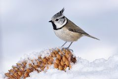 European crested tit Stock Photos