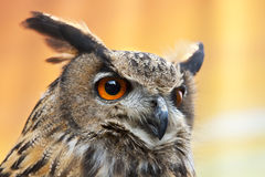 A beautiful European Eagle Owl. An European Eagle Owl with bright orange eyes Royalty Free Stock Photography