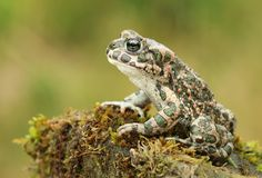 Beautiful European Green Toad Bufo Viridis Royalty Free Stock Photography