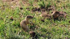 Beautiful european ground squirrels feeding stock video footage