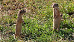 Beautiful european ground squirrels standing stock footage