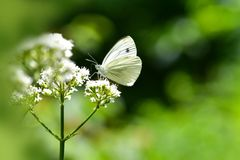 Beautiful European Large Cabbage White butterfly royalty free stock images