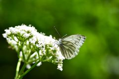 Beautiful European Large Cabbage White butterfly stock photos