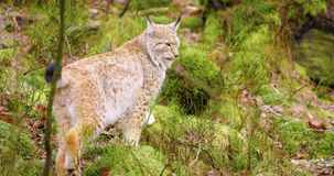 Beautiful european lynx cub walking in the forest Royalty Free Stock Photos
