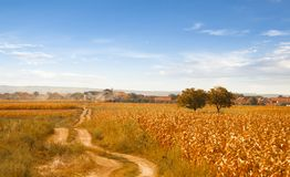 Nice Rural Landscape with Corn Field in Sunny Day Stock Photos