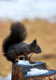 Beautiful European Squirrel Royalty Free Stock Images