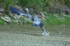 Beautiful european water bird in the nature habitat stock photography