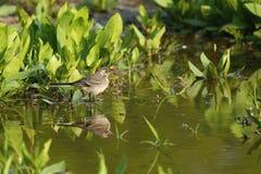 Beautiful european water bird in the nature habitat stock photos