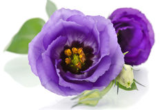 Beautiful eustoma flower Stock Photo