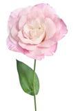 Beautiful eustoma flower Stock Images