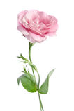 Beautiful eustoma flower Royalty Free Stock Photography