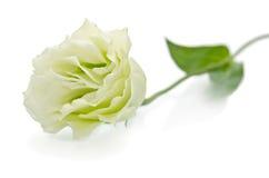 Beautiful eustoma flower Royalty Free Stock Image