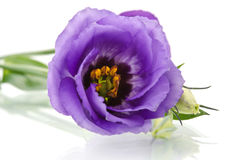 Beautiful eustoma flower on white background Stock Images