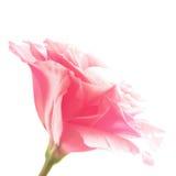 Beautiful Eustoma Flower on the White Background Royalty Free Stock Image