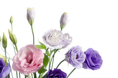 Beautiful eustoma flowers with leaves and buds Royalty Free Stock Photography