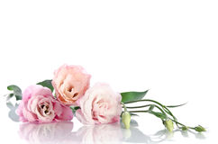 Beautiful eustoma flowers Stock Photos