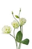 Beautiful eustoma flowers Royalty Free Stock Photography