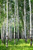 Beautiful evening Birch Grove in june Royalty Free Stock Images
