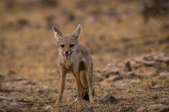 A fox pup Vulpes bengalensis at Ranthambore National Park royalty free stock photography