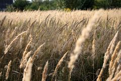 A beautiful evening in a rye field. An agricultural background with singing spikelets of rye in the rays of the evening sun at sunset Stock Photo