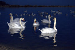 Beautiful swans evening bay   Royalty Free Stock Photo