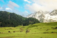Golden meadows and snowy peaks. A beautiful evening scene after a shower. Horses grazing on the picturesque meadows of Sonamarg with snow capped mountains stock image