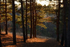 Beautiful evening sun in the pine forest. Evening sun in the pine forest amazing Stock Images