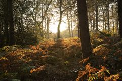 Beautiful evening woodland in England. Beautiful woodland in England - Nottinghamshire at sunset in Autumn Royalty Free Stock Photos