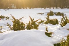 Beautiful evergreen bushes under lay of snow with sun rays in winter frosty sunny day in park. Nature background in warm colors. royalty free stock image