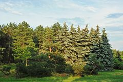 Evergreen fir tree. Beautiful evergreen fir tree in summer forest royalty free stock image