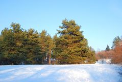 Evergreen pine tree. Beautiful evergreen pine tree in winter forest stock image